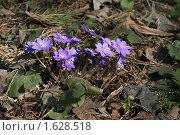 Купить «Печеночница», фото № 1628518, снято 6 апреля 2010 г. (c) Наталья Волкова / Фотобанк Лори