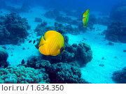 Купить «Подводный пейзаж с масковыми рыбами-бабочками», фото № 1634350, снято 31 октября 2009 г. (c) Сергей Дубров / Фотобанк Лори