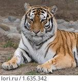 Тигр. Стоковое фото, фотограф Голованова Светлана / Фотобанк Лори
