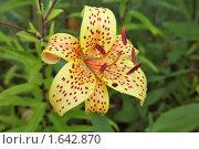 Купить «Цветок лилии в саду», фото № 1642870, снято 2 августа 2009 г. (c) Losevsky Pavel / Фотобанк Лори