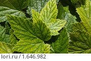 Зеленые листья. Стоковое фото, фотограф Земфира Магадеева / Фотобанк Лори