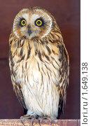 Купить «Болотная сова. Asio flammeus», фото № 1649138, снято 10 апреля 2010 г. (c) Михаил Борсов / Фотобанк Лори