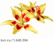 Купить «Распустившиеся желто-красные лилии. Изолированные на белый фон», фото № 1649394, снято 24 июля 2008 г. (c) Алёшина Оксана / Фотобанк Лори