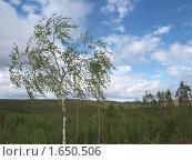 Купить «Берёза на севере Карелии», фото № 1650506, снято 21 июня 2009 г. (c) Евгений Задирака / Фотобанк Лори
