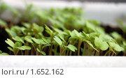 Купить «Кладезь витаминов на окне - ростки горчицы», фото № 1652162, снято 16 апреля 2010 г. (c) Елена Ильина / Фотобанк Лори