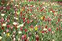 Поле тюльпанов, Голландия, эксклюзивное фото № 1652314, снято 16 апреля 2010 г. (c) Natalia Nemtseva / Фотобанк Лори