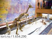 Скелет динозавра. Палеонтологический музей им. Ю.А. Орлова (2010 год). Редакционное фото, фотограф Валерия Лузина / Фотобанк Лори