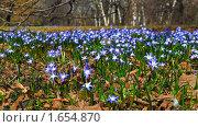 Купить «Цветы Хионодокса (Chionodoxa) на поляне», эксклюзивное фото № 1654870, снято 26 апреля 2009 г. (c) Алёшина Оксана / Фотобанк Лори