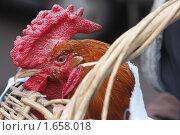 Купить «Петух в плетеной корзине», эксклюзивное фото № 1658018, снято 23 апреля 2010 г. (c) Дмитрий Неумоин / Фотобанк Лори
