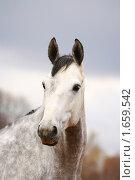 Купить «Портрет серого в яблоках коня», фото № 1659542, снято 25 апреля 2010 г. (c) Галина Щурова / Фотобанк Лори