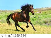 Купить «Гнедая лошадь скачет галопом в поле», фото № 1659714, снято 23 апреля 2010 г. (c) Титаренко Елена / Фотобанк Лори