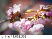 Купить «Цветы и бутоны на ветке сакуры», фото № 1662362, снято 26 апреля 2010 г. (c) Галина Короленко / Фотобанк Лори
