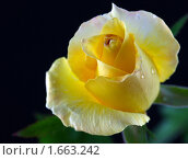Жёлтая роза. Стоковое фото, фотограф Nataliya Sabins / Фотобанк Лори