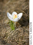 Белый крокус. Стоковое фото, фотограф Лебедева Дарья / Фотобанк Лори
