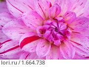 Сиреневый цветок георгины. Стоковое фото, фотограф Александр Косарев / Фотобанк Лори