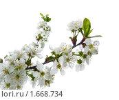Купить «Цветущая веточка вишни», фото № 1668734, снято 22 апреля 2010 г. (c) Бондарь Александр Николаевич / Фотобанк Лори