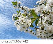 Купить «Цветет вишня», фото № 1668742, снято 25 апреля 2010 г. (c) Бондарь Александр Николаевич / Фотобанк Лори