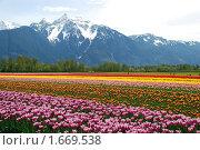 Купить «Поля тюльпанов», фото № 1669538, снято 18 апреля 2010 г. (c) Олеся Ефименко / Фотобанк Лори