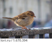 Купить «Воробей», эксклюзивное фото № 1670394, снято 23 февраля 2010 г. (c) lana1501 / Фотобанк Лори