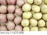 Купить «Картофель двух сортов готов к посадке», фото № 1673990, снято 2 мая 2010 г. (c) Александр Романов / Фотобанк Лори