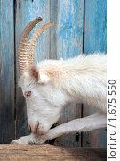Купить «Белая коза», фото № 1675550, снято 2 мая 2010 г. (c) Вячеслав Борисевич / Фотобанк Лори