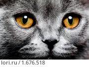 Купить «Британская кошка», фото № 1676518, снято 13 апреля 2010 г. (c) Коваль Василий / Фотобанк Лори