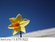 Нарцисс на фоне неба. Стоковое фото, фотограф Елена Мурашева / Фотобанк Лори