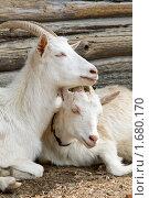 Купить «Козы», фото № 1680170, снято 2 мая 2010 г. (c) Вячеслав Борисевич / Фотобанк Лори