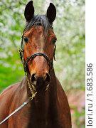 Купить «Портрет гнедой лошади в яблоневом саду», фото № 1683586, снято 4 мая 2010 г. (c) Титаренко Елена / Фотобанк Лори