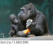 Мать с детенышем  гориллы береговой. Стоковое фото, фотограф Михаил Борсов / Фотобанк Лори