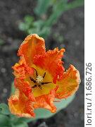Купить «Махровый цветок тюльпана», эксклюзивное фото № 1686726, снято 8 мая 2010 г. (c) Svet / Фотобанк Лори