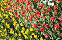 Желтые и красные тюльпаны, эксклюзивное фото № 1686954, снято 8 мая 2010 г. (c) ФЕДЛОГ.РФ / Фотобанк Лори