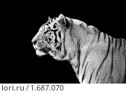 Белый тигр на черном фоне. Стоковое фото, фотограф Демчишина Ольга / Фотобанк Лори