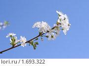 Ветка цветущей черемухи на фоне синего неба. Стоковое фото, фотограф Татьяна Метельская / Фотобанк Лори