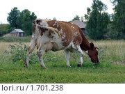 Корова. Стоковое фото, фотограф Стасис Иогминас / Фотобанк Лори