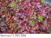 Купить «Растение на  Альпийской горке на дачном участке», фото № 1701554, снято 1 августа 2009 г. (c) Tamara Sushko / Фотобанк Лори