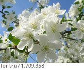 Купить «Белоснежные цветы яблони на голубом фоне», фото № 1709358, снято 15 мая 2010 г. (c) Людмила Банникова / Фотобанк Лори