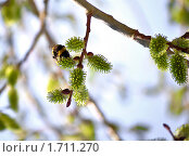 Шмель,ползающий по пушистой зелёной почке ивы. Стоковое фото, фотограф Роман Ушаков / Фотобанк Лори