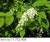Купить «Черёмуха», фото № 1712458, снято 17 мая 2010 г. (c) Алла Виноградова / Фотобанк Лори