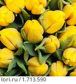 Купить «Желтые тюльпаны», фото № 1713590, снято 4 марта 2010 г. (c) Максим Лоскутников / Фотобанк Лори