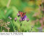 Купить «Бабочка на цветке  осота», эксклюзивное фото № 1716574, снято 11 июля 2009 г. (c) Алёшина Оксана / Фотобанк Лори