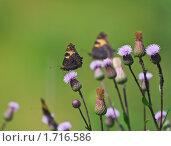Купить «Бабочка на цветке  осота», эксклюзивное фото № 1716586, снято 11 июля 2009 г. (c) Алёшина Оксана / Фотобанк Лори