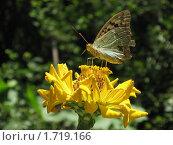 Купить «Бабочка на цветке», фото № 1719166, снято 8 сентября 2009 г. (c) Татьяна Злобина / Фотобанк Лори