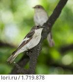 Самец мухоловки-пеструшки на дереве рядом с самкой. Стоковое фото, фотограф Голованова Светлана / Фотобанк Лори