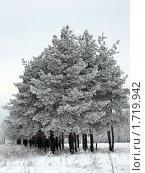 Сосны зимой. Стоковое фото, фотограф Александр Шаталов / Фотобанк Лори