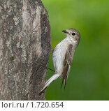 Самка мухоловки-пеструшки возле гнезда. Стоковое фото, фотограф Голованова Светлана / Фотобанк Лори