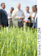 Хороший урожай пшеницы. Стоковое фото, фотограф Александр Подшивалов / Фотобанк Лори
