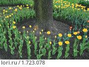 Купить «Цветы. Тюльпаны», фото № 1723078, снято 15 мая 2010 г. (c) Александр Секретарев / Фотобанк Лори