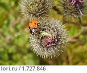 Купить «Божья коровка (Coccinellidae) на колючке репейника. (Arctium)», фото № 1727846, снято 24 июля 2009 г. (c) Алёшина Оксана / Фотобанк Лори