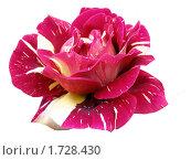 Купить «Красная роза», фото № 1728430, снято 3 июня 2008 г. (c) Елена Руденко / Фотобанк Лори